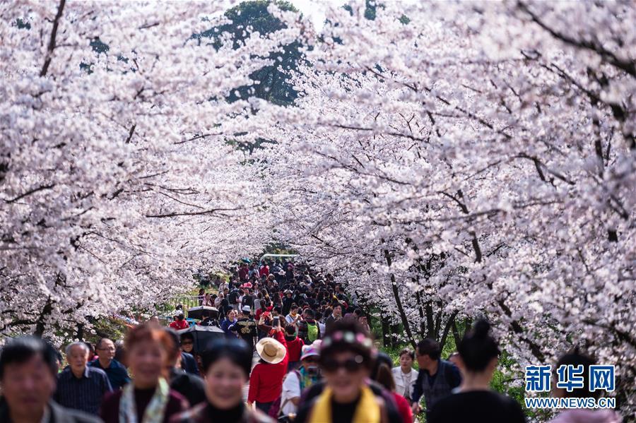(春季美丽生态)(1)樱花烂漫引客来