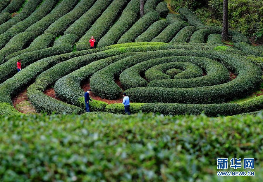 (春季美丽生态)(1)武夷山:生态茶园 静待采摘