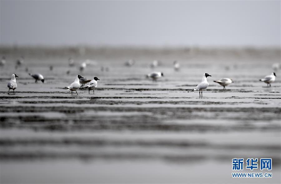 (环境)(1)大批遗鸥飞临天津滨海滩涂