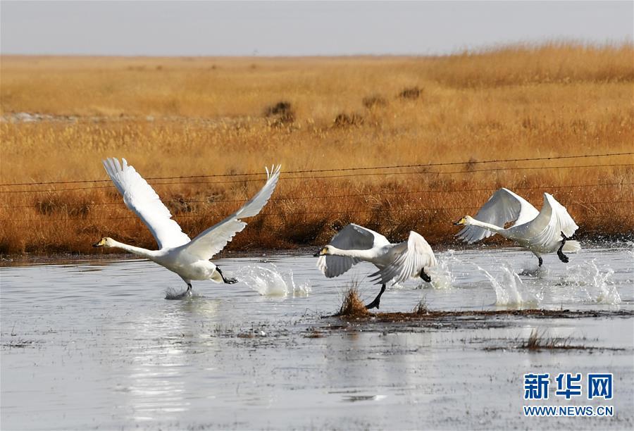 (美丽中国)(8)甘肃阿克塞:湿地冰融 候鸟北归