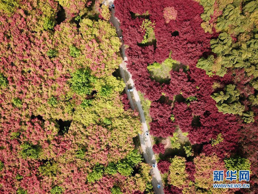 (春季美丽生态)(1)枫林新叶吐红