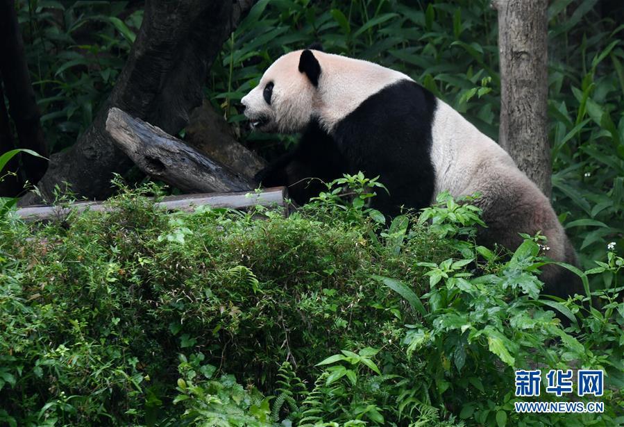 (社会)(1)赠台大熊猫十年迎客两千余万