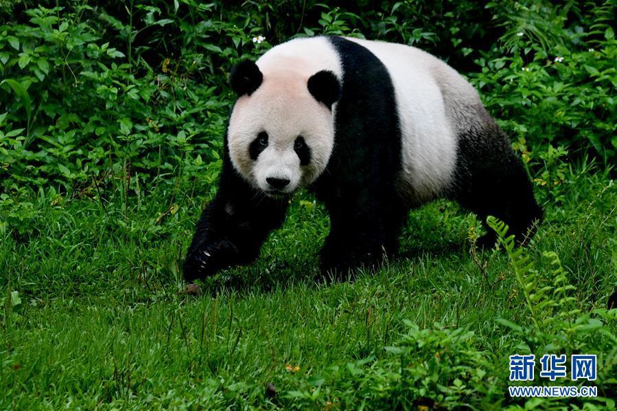 (社会)(2)赠台大熊猫十年迎客两千余万