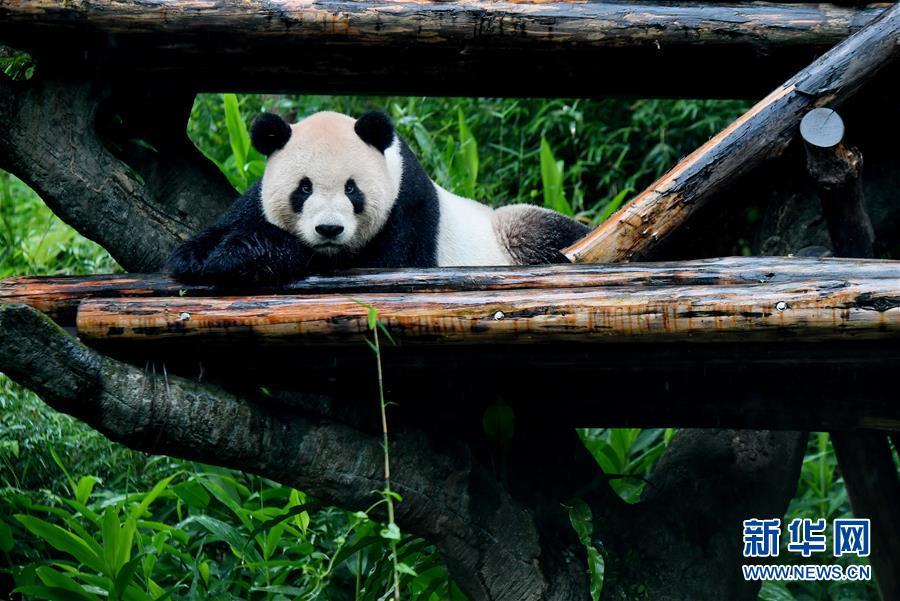 (社会)(5)赠台大熊猫十年迎客两千余万
