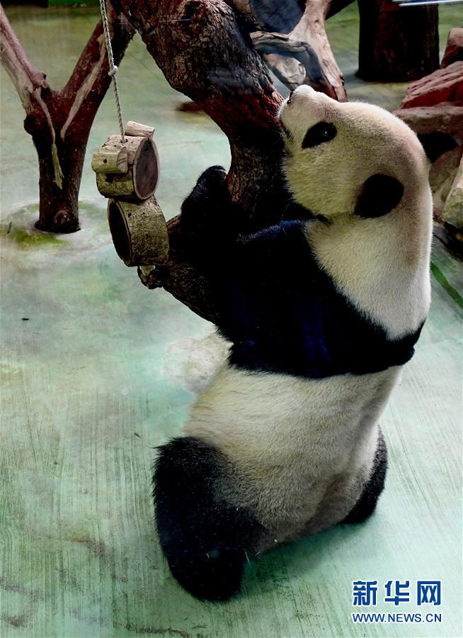 (社会)(6)赠台大熊猫十年迎客两千余万