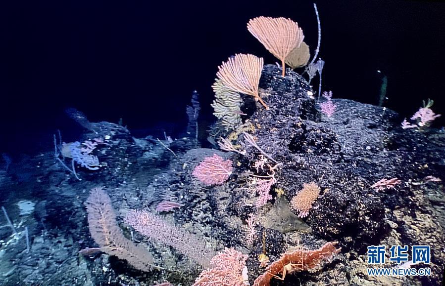 """(圖文互動)(1)""""科學""""號在馬里亞納海溝發現多處罕見""""海底花園"""""""