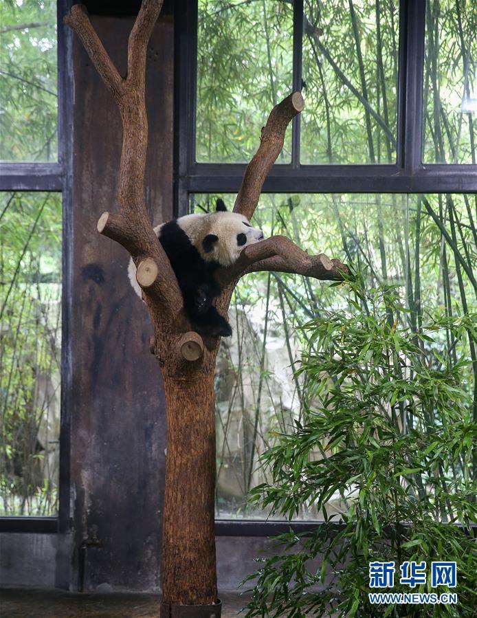 """(社會)(1)上海:大熊貓寶寶取名為""""七七"""""""