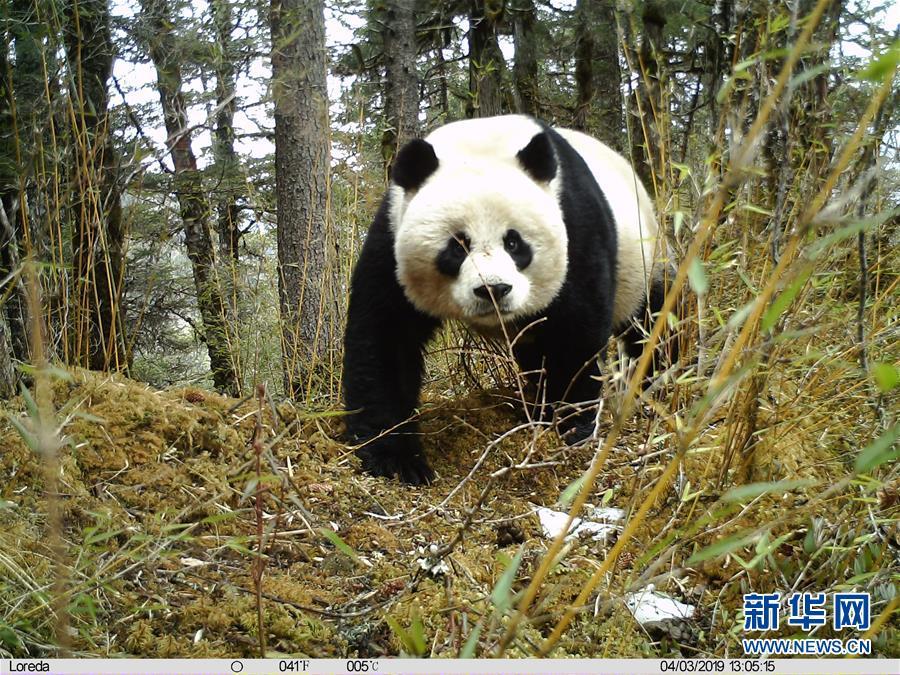 (图文互动)(1)四川黄龙自然保护区红外相机拍摄到大熊猫带崽活动