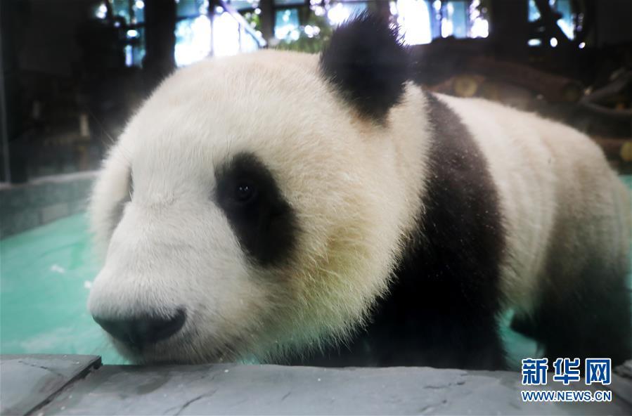 """(社会)(1)大熊猫""""风光兄弟""""光临上海"""