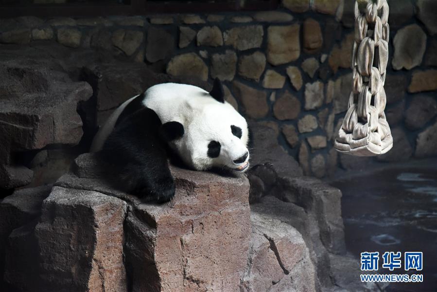 (社会)(10)大熊猫:空调房里乐享清凉一夏