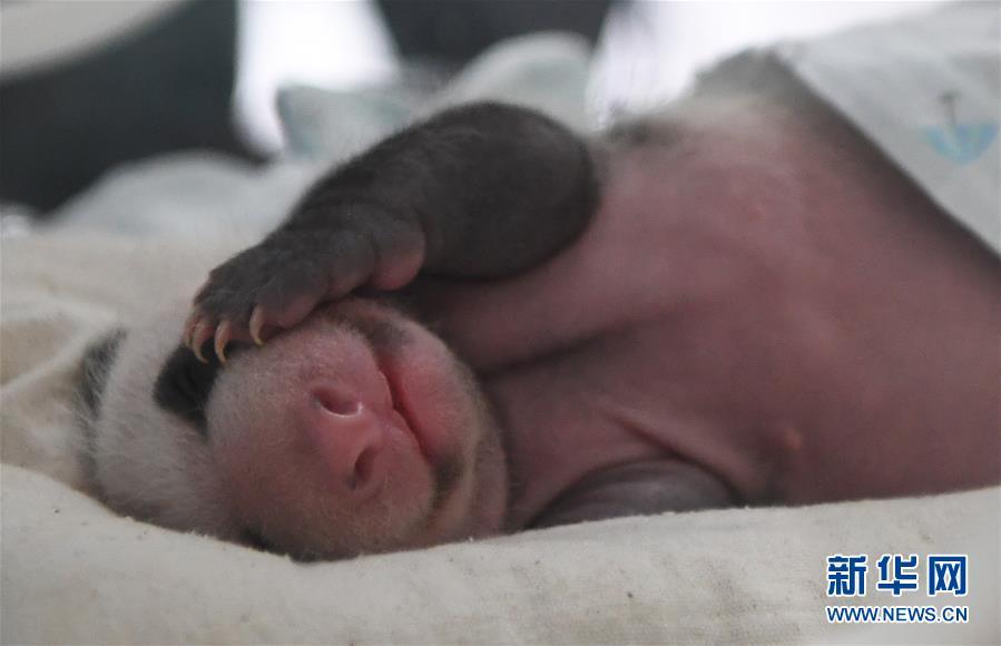(图文互动)(1)重庆动物园两只大熊猫同日诞下双胞胎