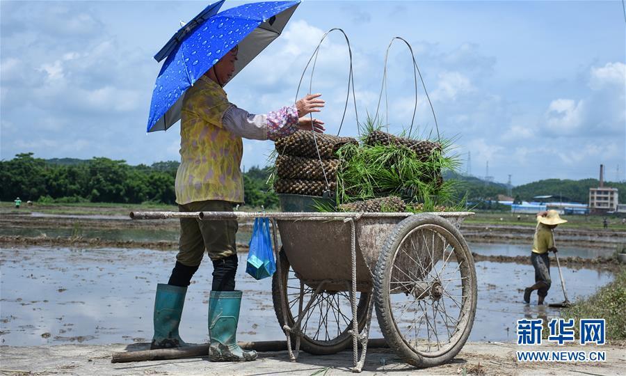 """(经济)(2)广西钦州:""""双抢""""忙农事"""