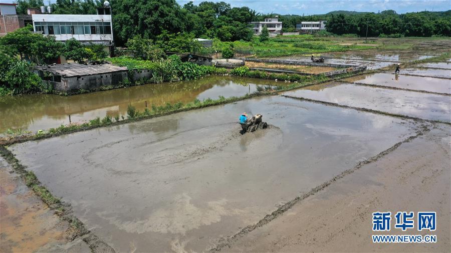 """(经济)(3)广西钦州:""""双抢""""忙农事"""