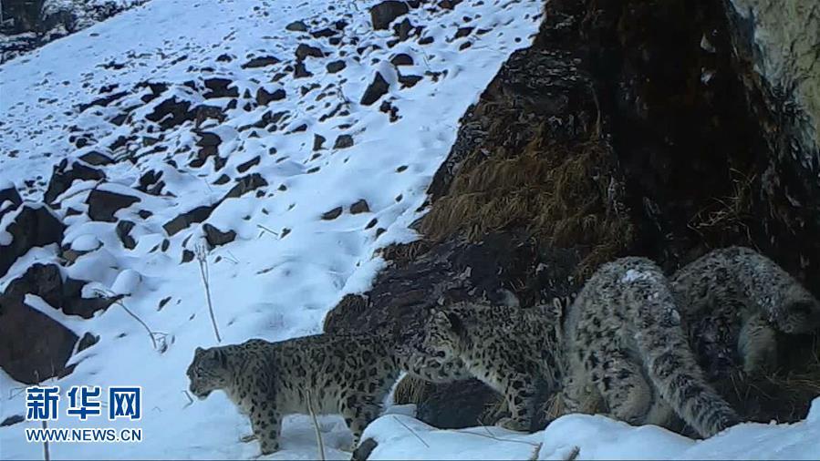 (图文互动)(1)四川卧龙拍摄到四只雪豹同框画面