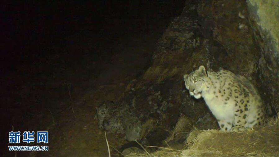 (图文互动)(2)四川卧龙拍摄到四只雪豹同框画面