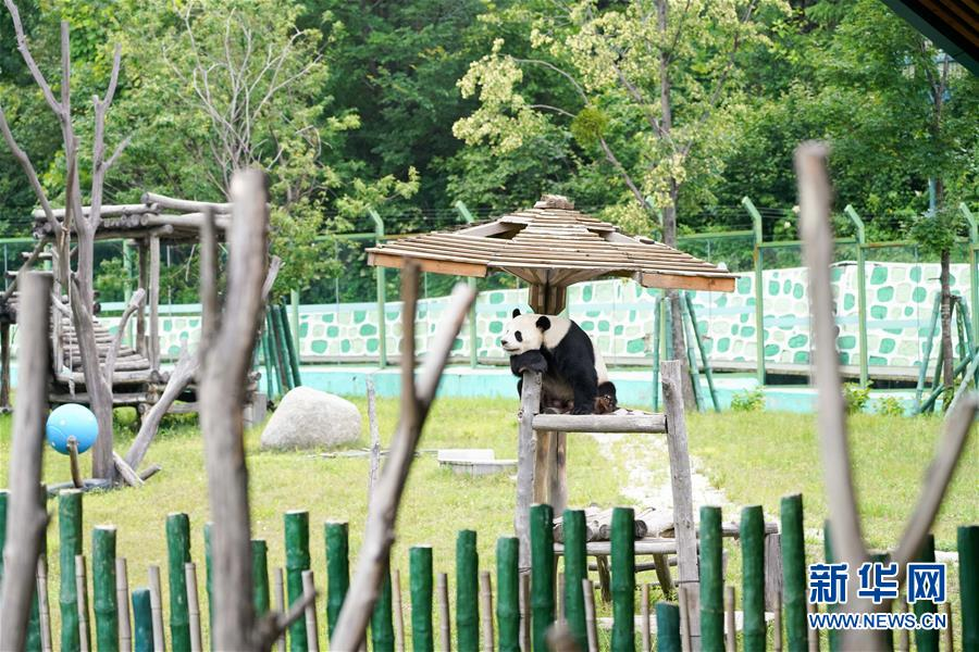 """(社会)(1)大熊猫姐弟北上 """"乐不思蜀"""""""
