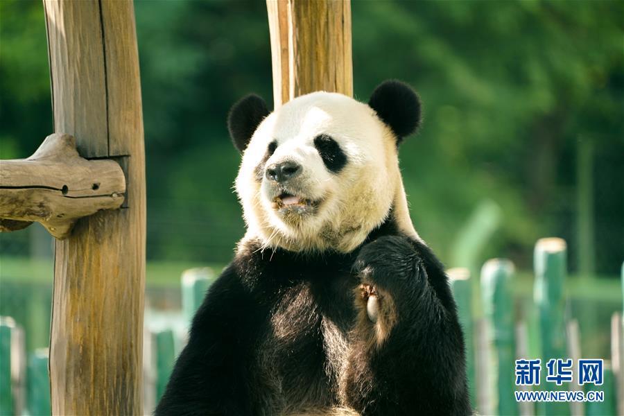 """(社会)(2)大熊猫姐弟北上 """"乐不思蜀"""""""