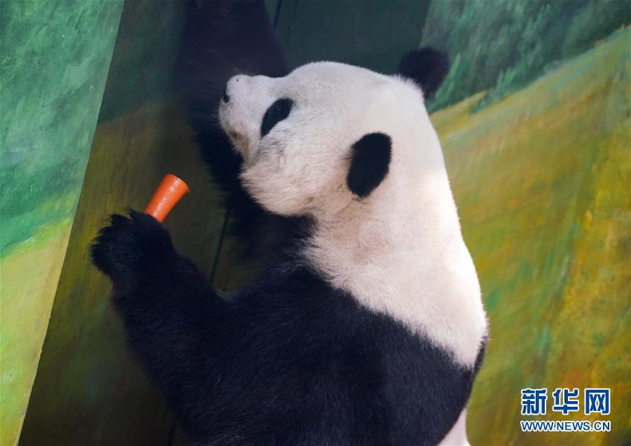 """(社会)(3)大熊猫姐弟北上 """"乐不思蜀"""""""