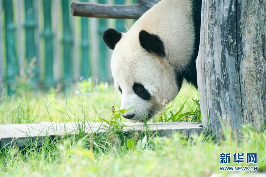 """(社会)(6)大熊猫姐弟北上 """"乐不思蜀"""""""