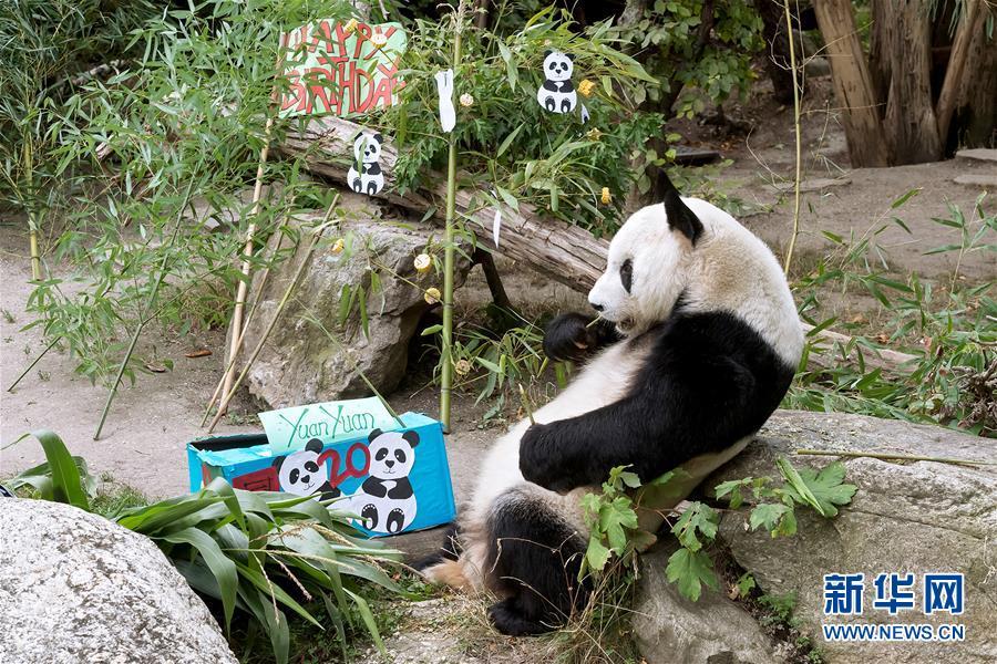(国际)(3)大熊猫园园在维也纳迎来20岁生日