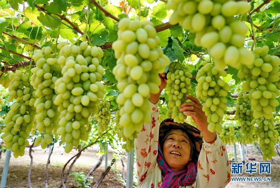 (经济)(1)河北怀来:葡萄飘香惠农家