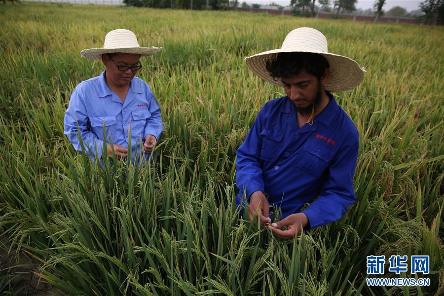 (国际·图文互动)(1)通讯:达则兼济天下——记在巴基斯坦教授杂交水稻技术的中国专家