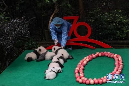 (社会)(1)成都:7只新生大熊猫齐亮相
