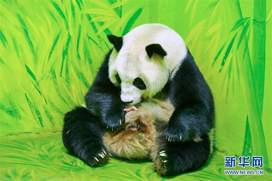 10月1日,广州长隆野生动物世界的大熊猫梅清呵护着它的新生宝宝国庆。    9月30日下午,广州长隆野生动物世界的大熊猫梅清成功诞下小宝宝国庆。据介绍,大熊猫梅清于今年5月自然交配成功。在中国大熊猫保护研究中心工作人员与长隆专业饲养员们的悉心照料之下,梅清经历约5个月的孕期以后,于9月30日13:50产下熊猫小宝宝,新出生的熊猫小宝宝被命名为国庆。    新华社发