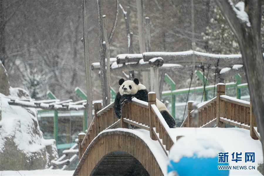 """(社会)(1)大熊猫享受""""雪季"""""""