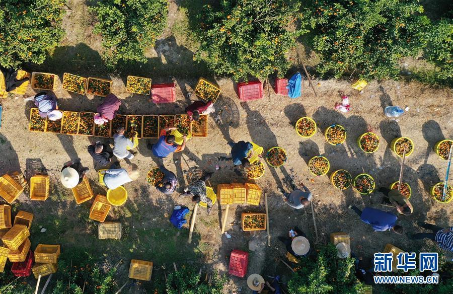 (经济)(1)可爱的乡村——广西鹿寨县橘橙丰收