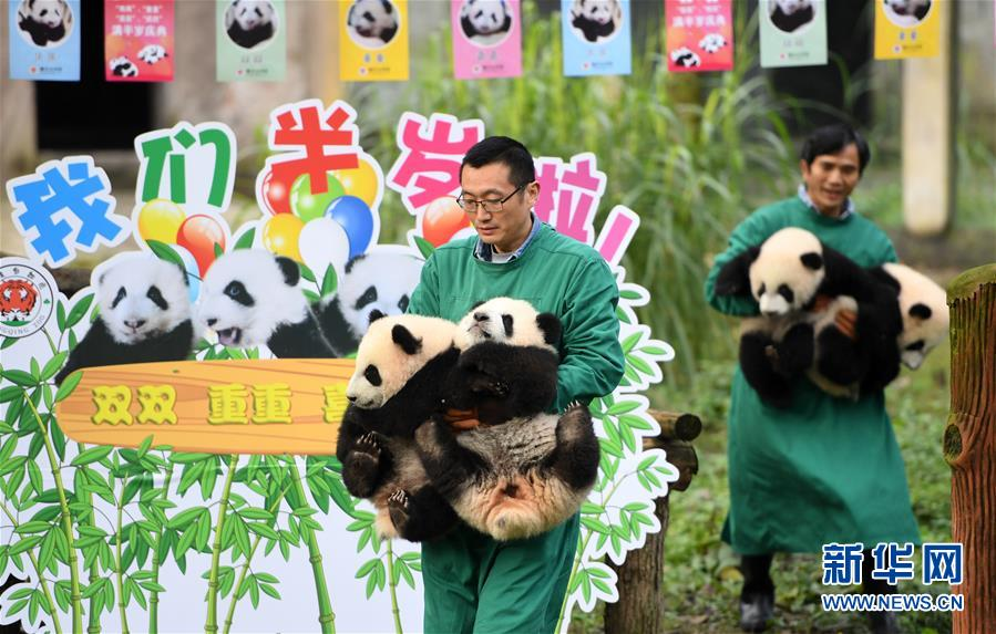 (社会)(1)重庆:4只半岁大熊猫户外庆祝半岁生日