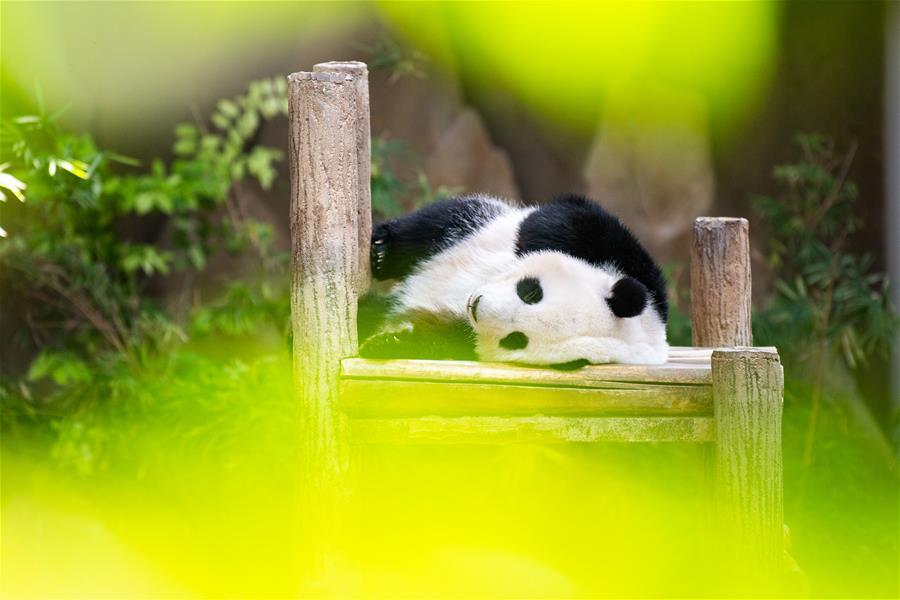 """(国际)(1)马来西亚为在马出生的大熊猫""""谊谊""""庆生"""