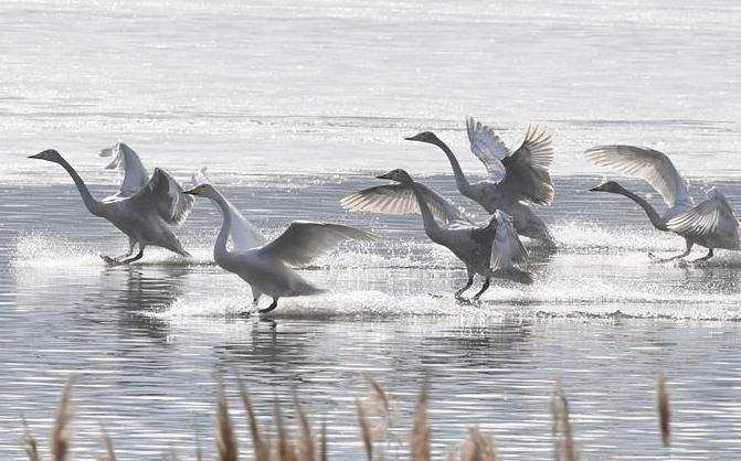 (社会)(1)三门峡:白天鹅黄河湿地越冬