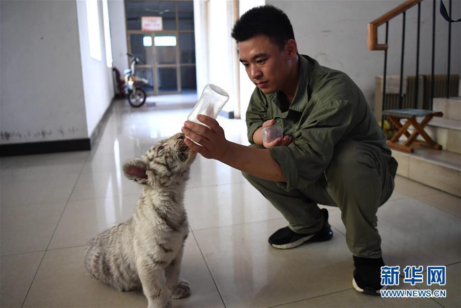 (社会)(4)石家庄动物园的白虎宝宝