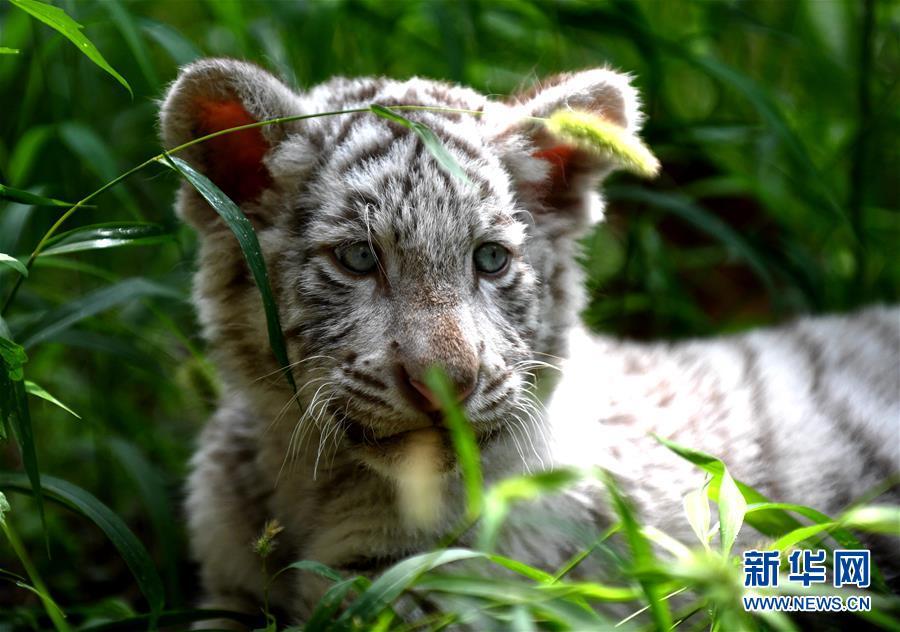 (社会)(5)石家庄动物园的白虎宝宝