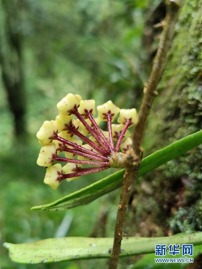 (图文互动)(5)我国科学家在云南发现一植物新物种高黎贡球兰