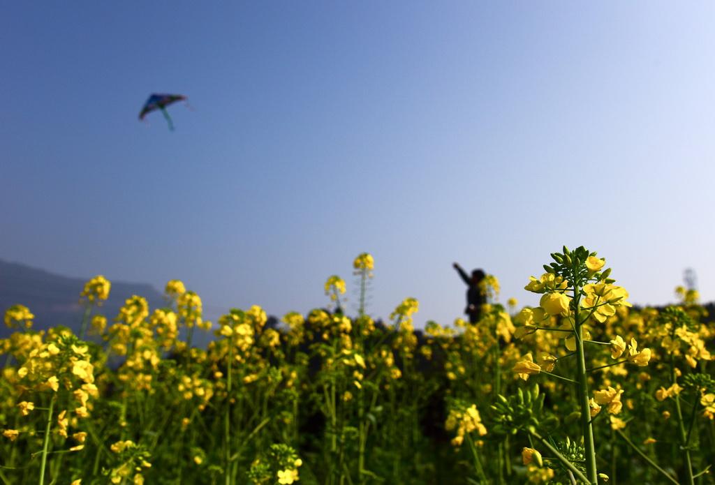 2月19日,四川省叙永县叙永镇红岩村的油菜花盛开,一名男孩在田间放风筝。 新华社发(李欣 摄)