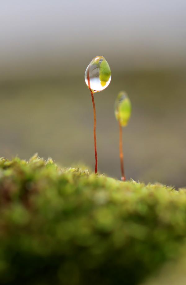2月19日,一场春雨过后,四川省华蓥市郊外葫芦藓孢子囊崭露头角。新华社发(周松林 摄)
