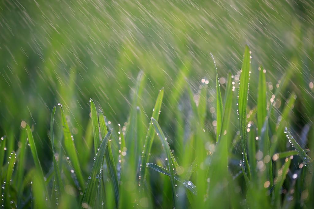 2月20日,江苏省盱眙县淮河河畔的小麦与春雨为伴。新华社发(周海军 摄)