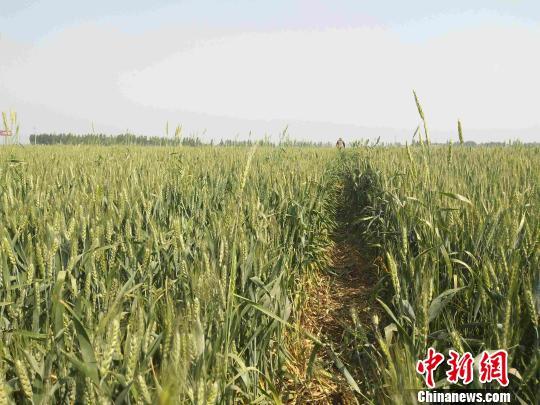 河北逾2959万亩小麦遭受蚜虫侵害占总面积八成