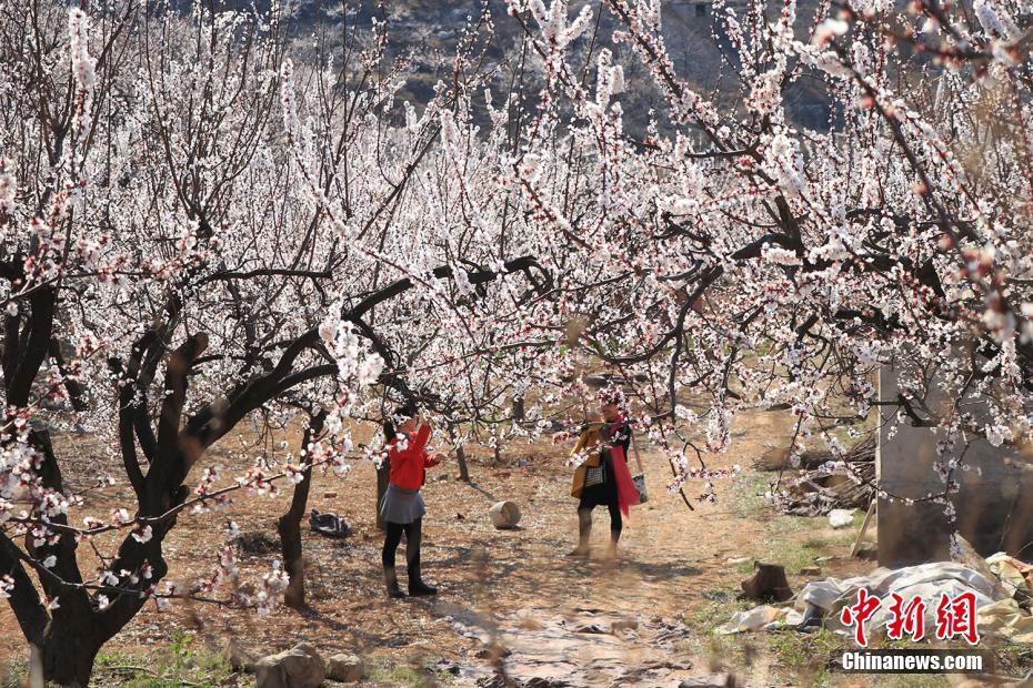安徽淮北15万株杏树花开正盛