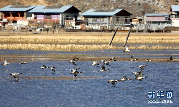 #(环境)(2)云南迪庆:冬季观鸟引客来