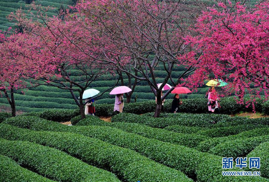 (美丽中国)(1)福建:茶园樱花绿映红