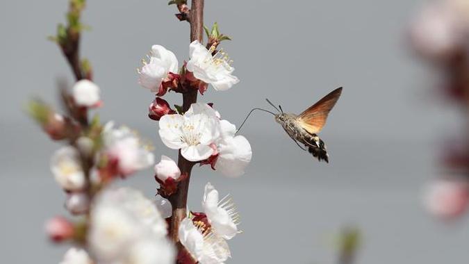 #(环境)蜂鸟鹰蛾戏花忙