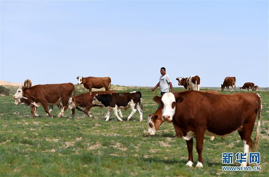 (守望相助70载·壮美亮丽内蒙古)(3)内蒙古优质牛羊肉走上越来越多国人的餐桌