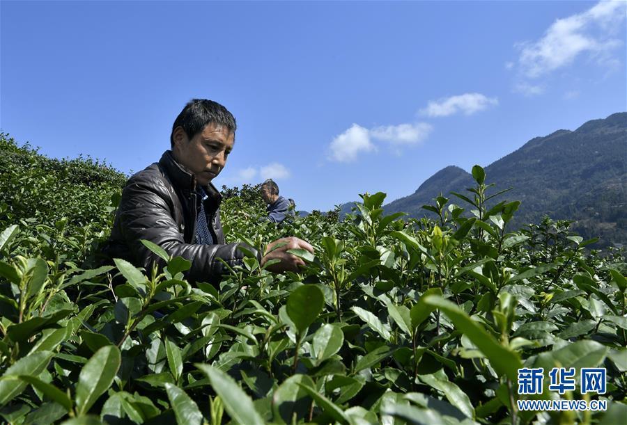 #(经济)(1)采春茶
