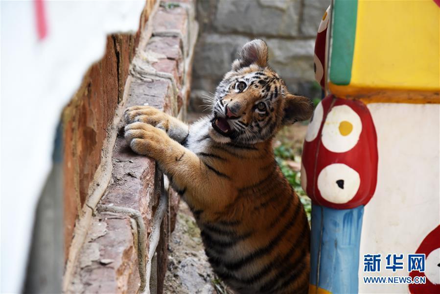 (社会)(1)济南动物园人工饲养孟加拉虎宝宝茁壮成长