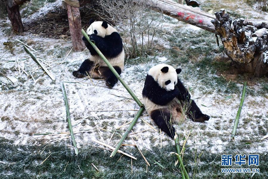 (社会)(1)雪中大熊猫