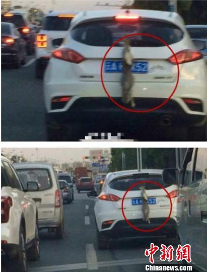 昆明一司机用活兔子遮挡号牌交警:涉嫌违法正调查