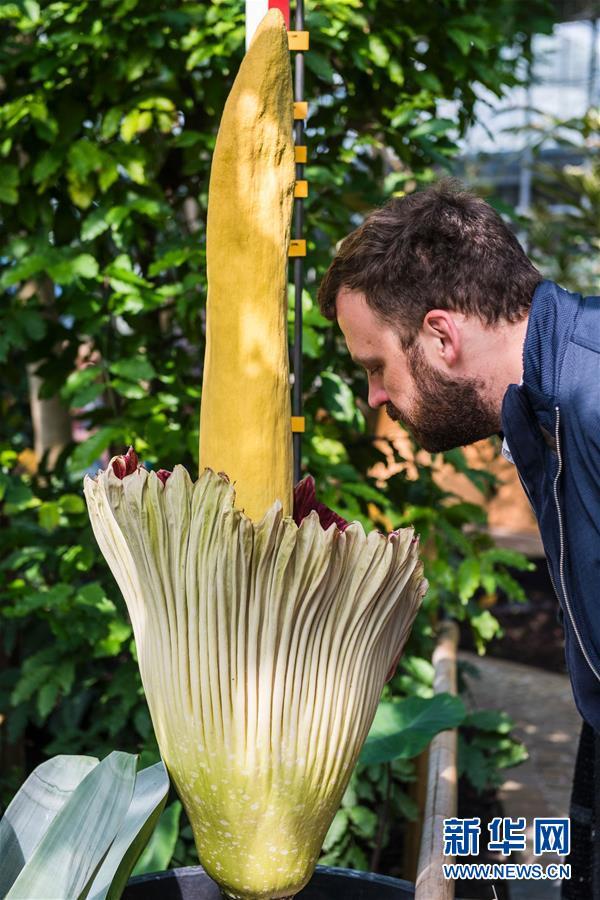 [2](外代二线)比利时的巨花魔芋开花